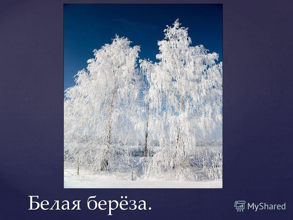 Белая берёза.