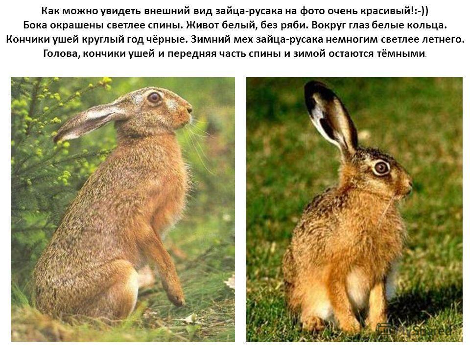 Как можно увидеть внешний вид зайца-русака на фото очень красивый!:-)) Бока окрашены светлее спины. Живот белый, без ряби. Вокруг глаз белые кольца. Кончики ушей круглый год чёрные. Зимний мех зайца-русака немногим светлее летнего. Голова, кончики уш