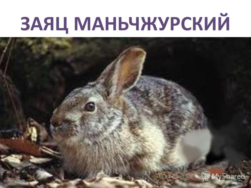 ЗАЯЦ МАНЬЧЖУРСКИЙ