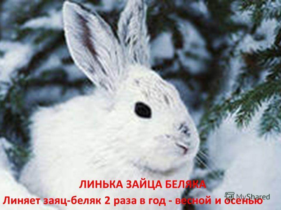 ЛИНЬКА ЗАЙЦА БЕЛЯКА Линяет заяц-беляк 2 раза в год - весной и осенью