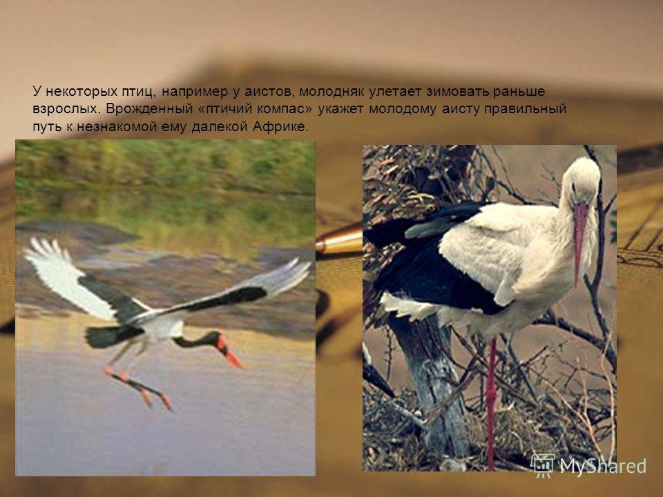 У некоторых птиц, например у аистов, молодняк улетает зимовать раньше взрослых. Врожденный « птичий компас » укажет молодому аисту правильный путь к незнакомой ему далекой Африке.