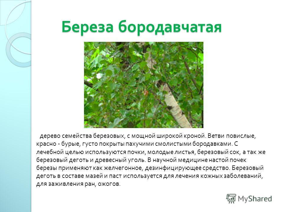 Береза бородавчатая Береза бородавчатая дерево семейства березовых, с мощной широкой кроной. Ветви повислые, красно - бурые, густо покрыты пахучими смолистыми бородавками. С лечебной целью используются почки, молодые листья, березовый сок, а так же б