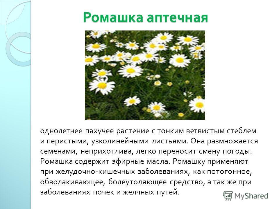 Ромашка аптечная Ромашка аптечная однолетнее пахучее растение с тонким ветвистым стеблем и перистыми, узколинейными листьями. Она размножается семенами, неприхотлива, легко переносит смену погоды. Ромашка содержит эфирные масла. Ромашку применяют при