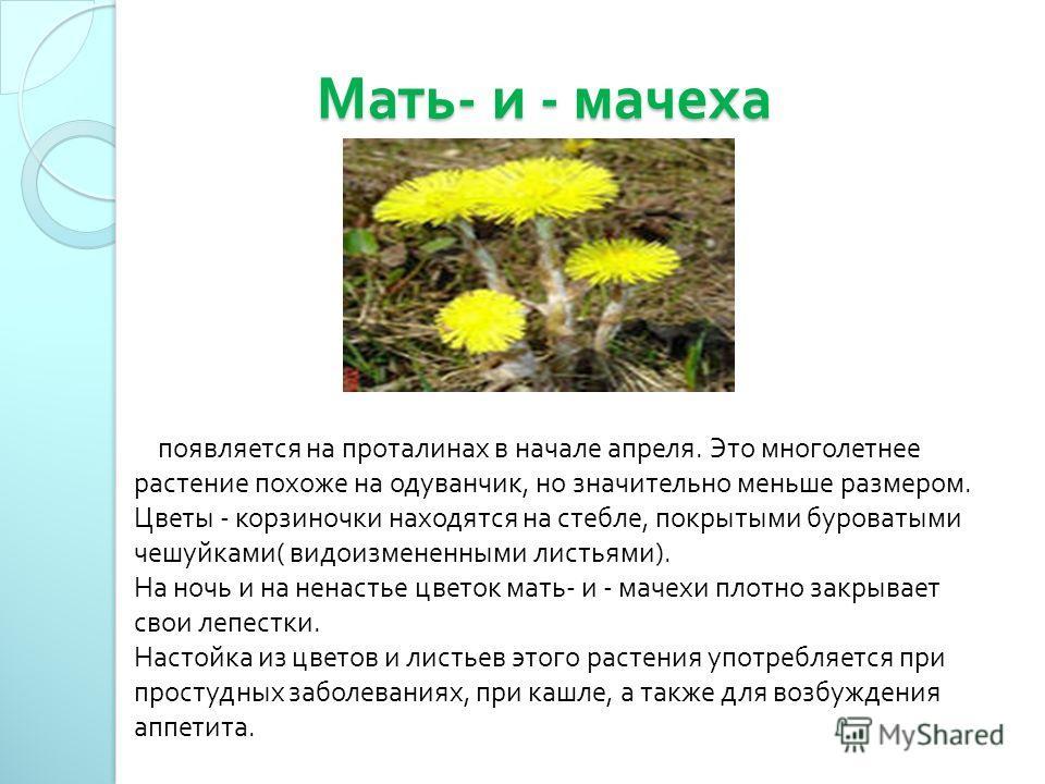 Мать - и - мачеха Мать - и - мачеха появляется на проталинах в начале апреля. Это многолетнее растение похоже на одуванчик, но значительно меньше размером. Цветы - корзиночки находятся на стебле, покрытыми буроватыми чешуйками ( видоизмененными листь