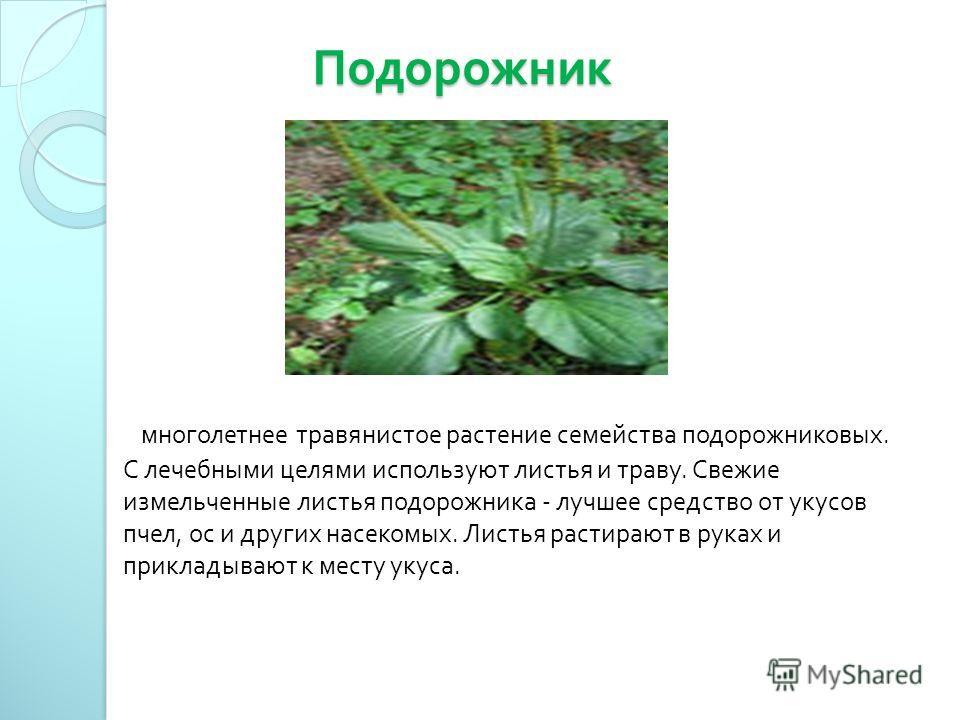 Подорожник Подорожник многолетнее травянистое растение семейства подорожниковых. С лечебными целями используют листья и траву. Свежие измельченные листья подорожника - лучшее средство от укусов пчел, ос и других насекомых. Листья растирают в руках и