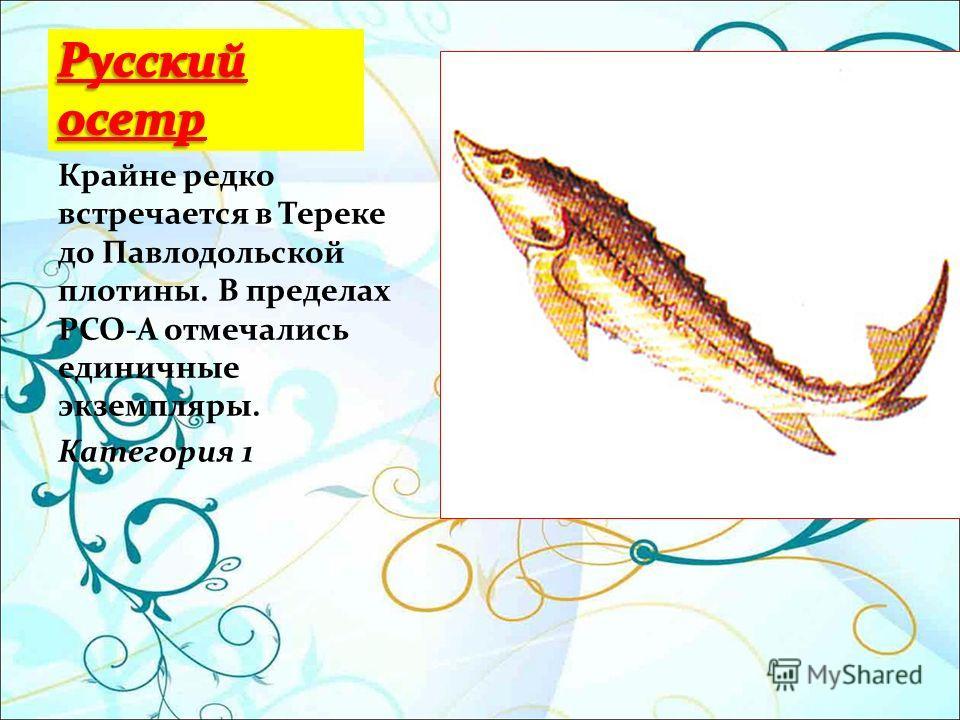 Крайне редко встречается в Тереке до Павлодольской плотины. В пределах РСО-А отмечались единичные экземпляры. Категория 1