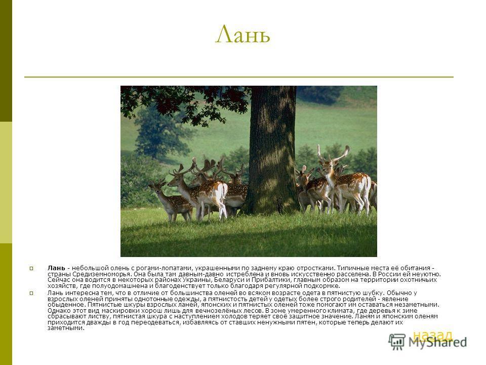 Лань Лань - небольшой олень с рогами-лопатами, украшенными по заднему краю отростками. Типичные места её обитания - страны Средиземноморья. Она была там давным-давно истреблена и вновь искусственно расселена. В России ей неуютно. Сейчас она водится в