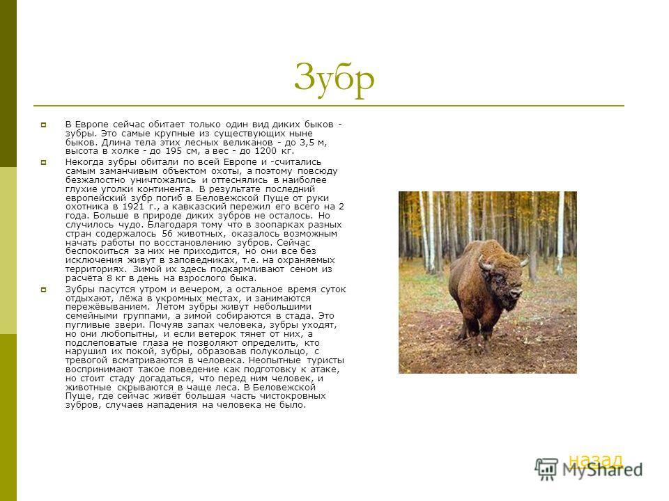 Зубр В Европе сейчас обитает только один вид диких быков - зубры. Это самые крупные из существующих ныне быков. Длина тела этих лесных великанов - до 3,5 м, высота в холке - до 195 см, а вес - до 1200 кг. Некогда зубры обитали по всей Европе и -счита