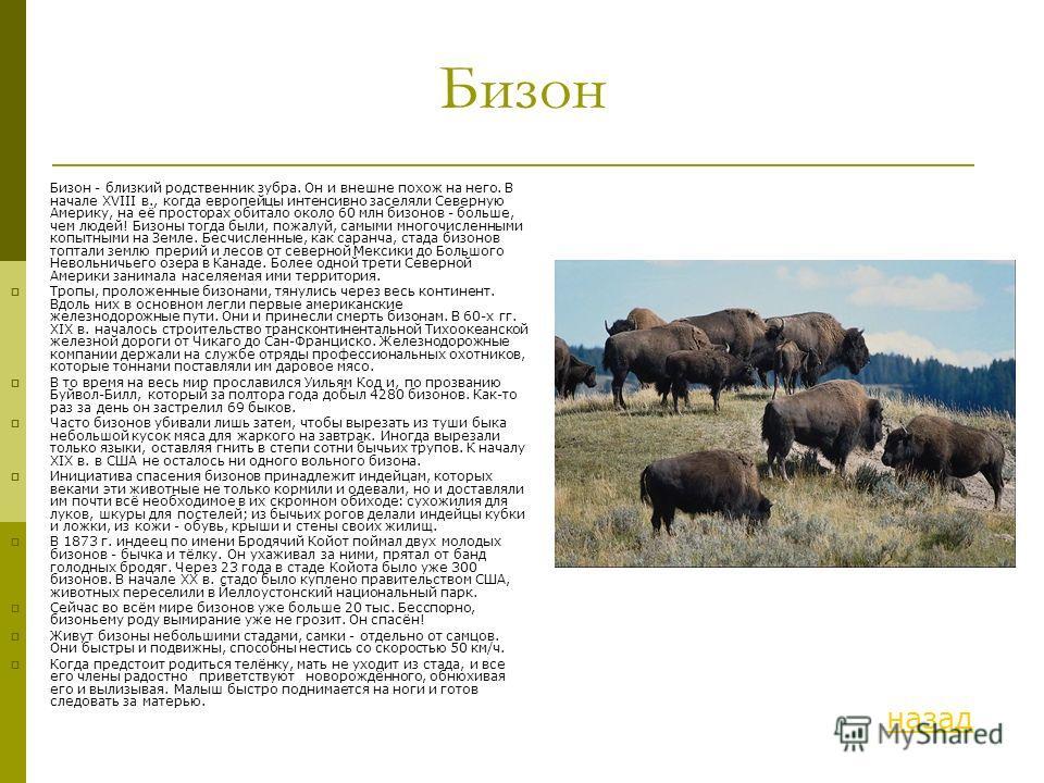 Бизон Бизон - близкий родственник зубра. Он и внешне похож на него. В начале XVIII в., когда европейцы интенсивно заселяли Северную Америку, на её просторах обитало около 60 млн бизонов - больше, чем людей! Бизоны тогда были, пожалуй, самыми многочис
