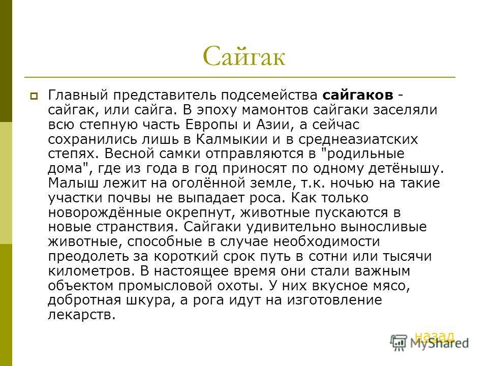 Сайгак Главный представитель подсемейства сайгаков - сайгак, или сайга. В эпоху мамонтов сайгаки заселяли всю степную часть Европы и Азии, а сейчас сохранились лишь в Калмыкии и в среднеазиатских степях. Весной самки отправляются в