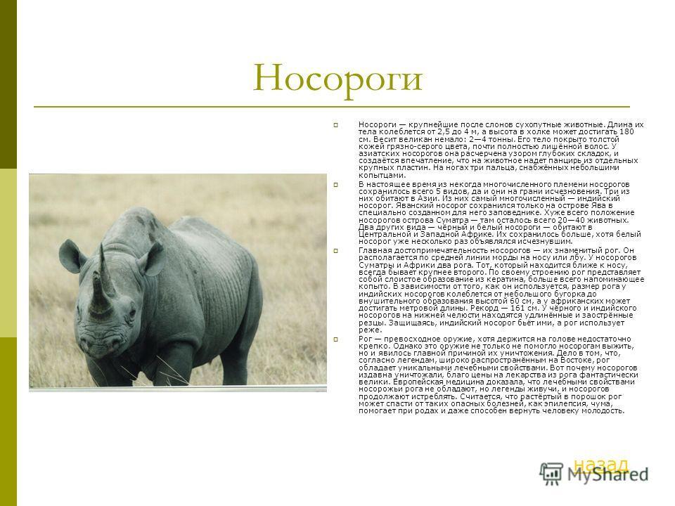 Носороги Носороги крупнейшие после слонов сухопутные животные. Длина их тела колеблется от 2,5 до 4 м, а высота в холке может достигать 180 см. Весит великан немало: 24 тонны. Его тело покрыто толстой кожей грязно-серого цвета, почти полностью лишённ
