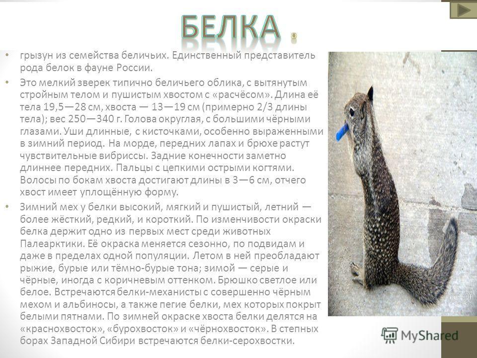 грызун из семейства беличьих. Единственный представитель рода белок в фауне России. Это мелкий зверек типично беличьего облика, с вытянутым стройным телом и пушистым хвостом с «расчёсом». Длина её тела 19,528 см, хвоста 1319 см (примерно 2/3 длины те