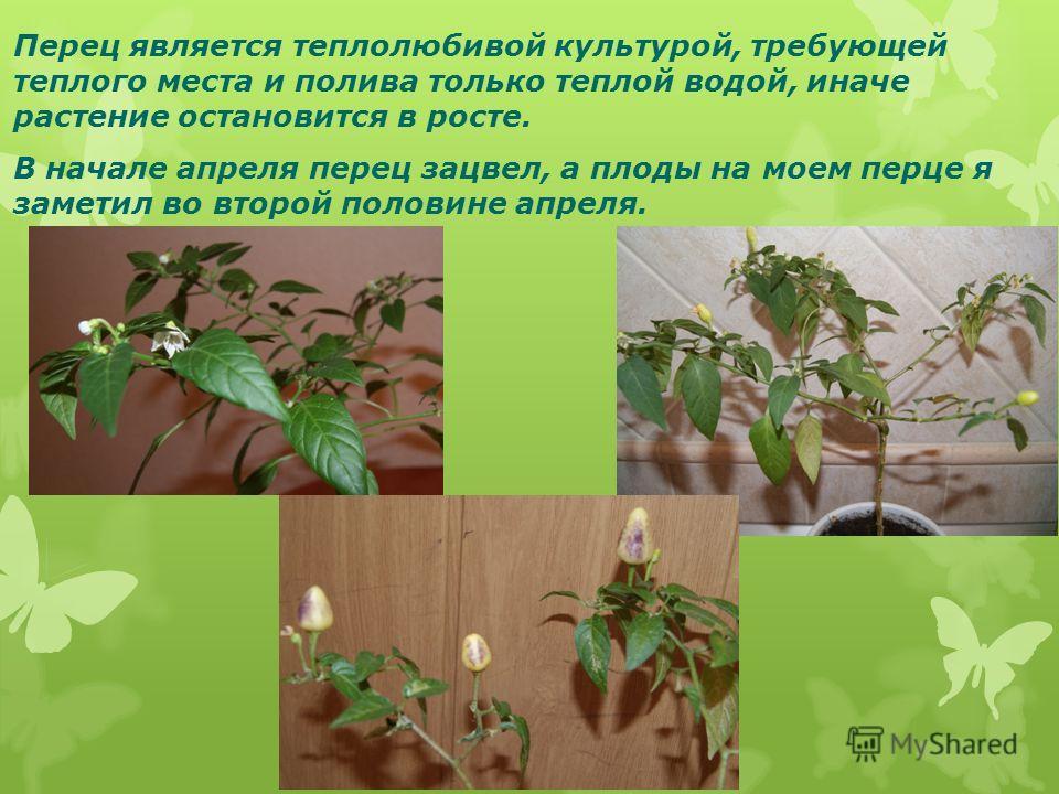 Перец является теплолюбивой культурой, требующей теплого места и полива только теплой водой, иначе растение остановится в росте. В начале апреля перец зацвел, а плоды на моем перце я заметил во второй половине апреля.
