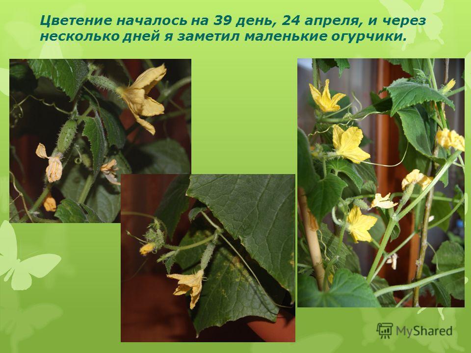 Цветение началось на 39 день, 24 апреля, и через несколько дней я заметил маленькие огурчики.