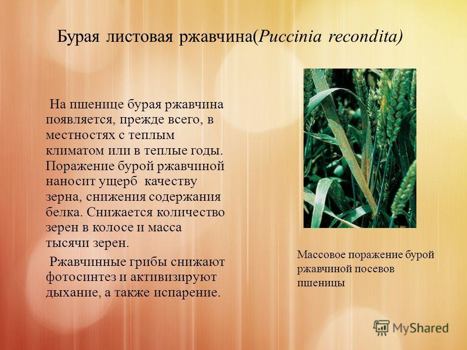 Бурая листовая ржавчина(Puccinia recondita) На пшенице бурая ржавчина появляется, прежде всего, в местностях с теплым климатом или в теплые годы. Поражение бурой ржавчиной наносит ущерб качеству зерна, снижения содержания белка. Снижается количество
