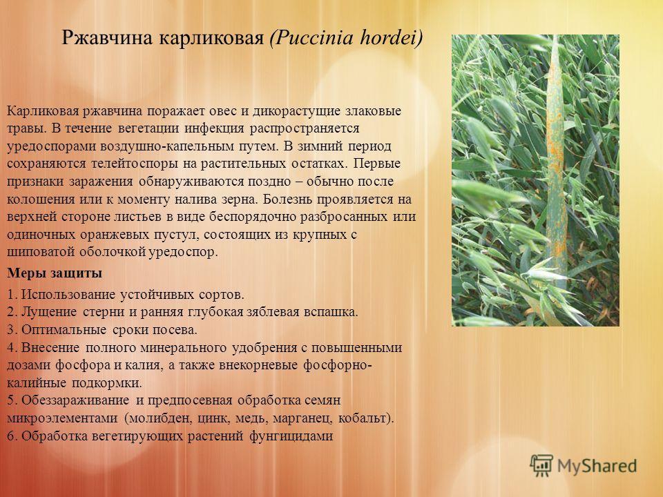 Ржавчина карликовая (Puccinia hordei) Карликовая ржавчина поражает овес и дикорастущие злаковые травы. В течение вегетации инфекция распространяется уредоспорами воздушно-капельным путем. В зимний период сохраняются телейтоспоры на растительных остат