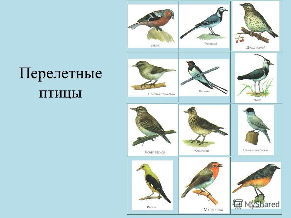 Перелетные птицы: названия для детей, описание, список. Фото 22