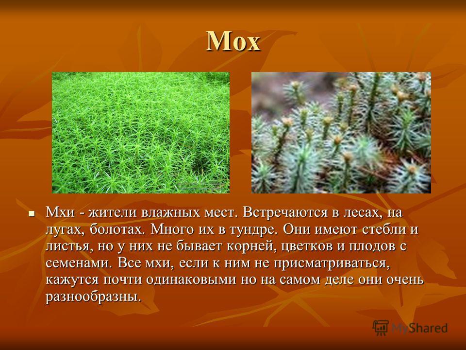 Мох Мхи - жители влажных мест. Встречаются в лесах, на лугах, болотах. Много их в тундре. Они имеют стебли и листья, но у них не бывает корней, цветков и плодов с семенами. Все мхи, если к ним не присматриваться, кажутся почти одинаковыми но на самом