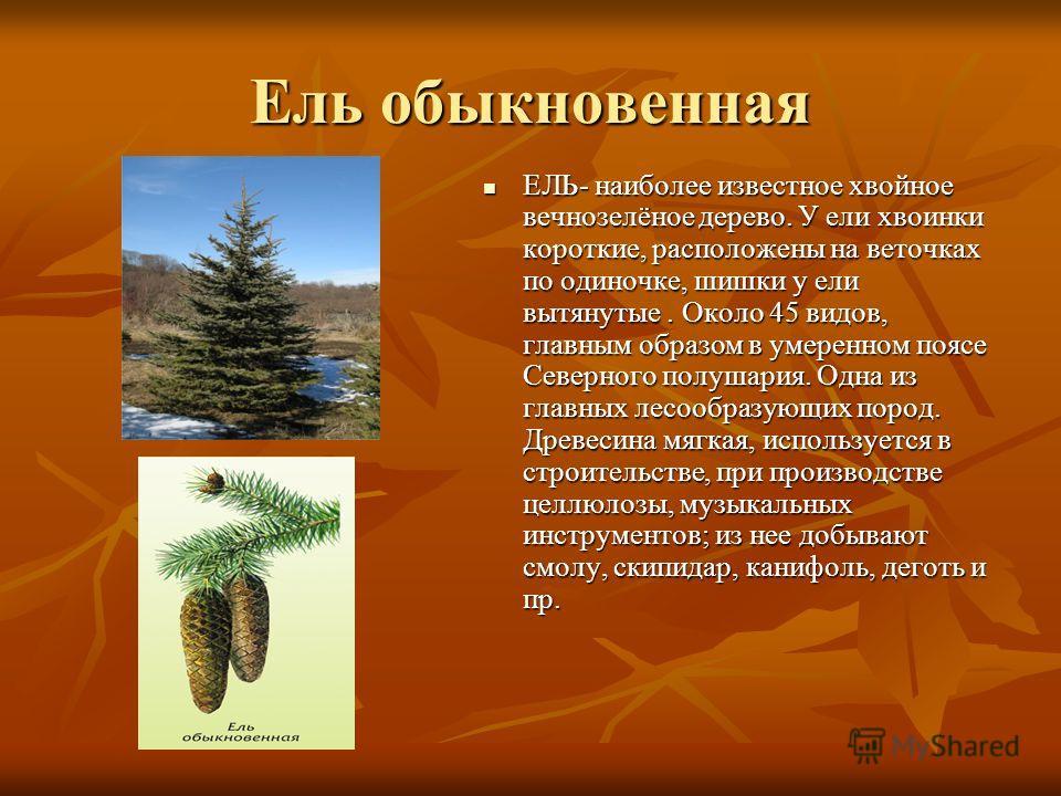 Ель обыкновенная ЕЛЬ- наиболее известное хвойное вечнозелёное дерево. У ели хвоинки короткие, расположены на веточках по одиночке, шишки у ели вытянутые. Около 45 видов, главным образом в умеренном поясе Северного полушария. Одна из главных лесообраз
