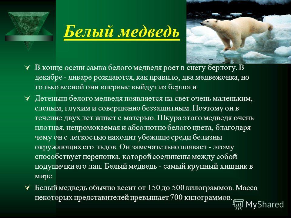 Белый медведь В конце осени самка белого медведя роет в снегу берлогу. В декабре - январе рождаются, как правило, два медвежонка, но только весной они впервые выйдут из берлоги. Детеныш белого медведя появляется на свет очень маленьким, слепым, глухи