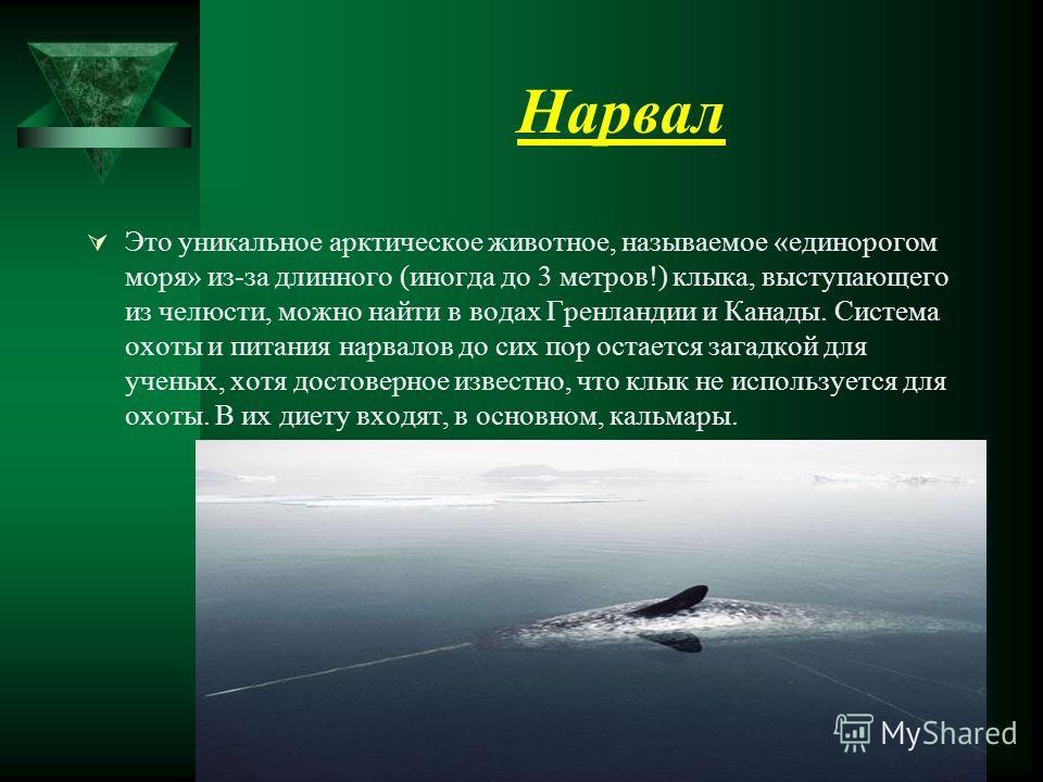 Нарвал Это уникальное арктическое животное, называемое «единорогом моря» из-за длинного (иногда до 3 метров!) клыка, выступающего из челюсти, можно найти в водах Гренландии и Канады. Система охоты и питания нарвалов до сих пор остается загадкой для у