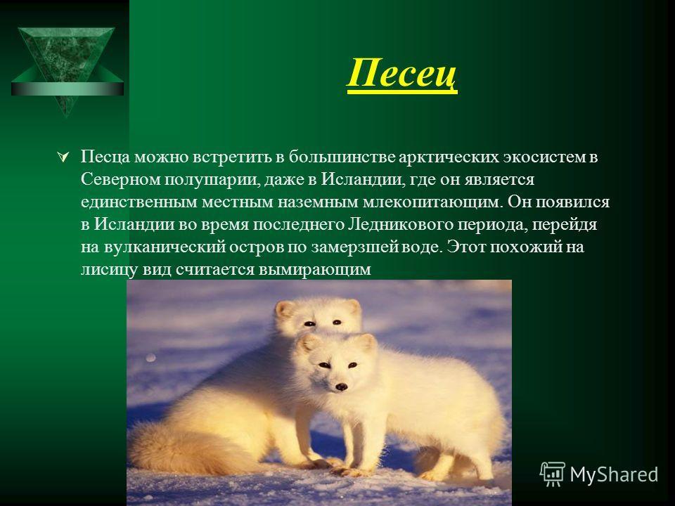 Песец Песца можно встретить в большинстве арктических экосистем в Северном полушарии, даже в Исландии, где он является единственным местным наземным млекопитающим. Он появился в Исландии во время последнего Ледникового периода, перейдя на вулканическ