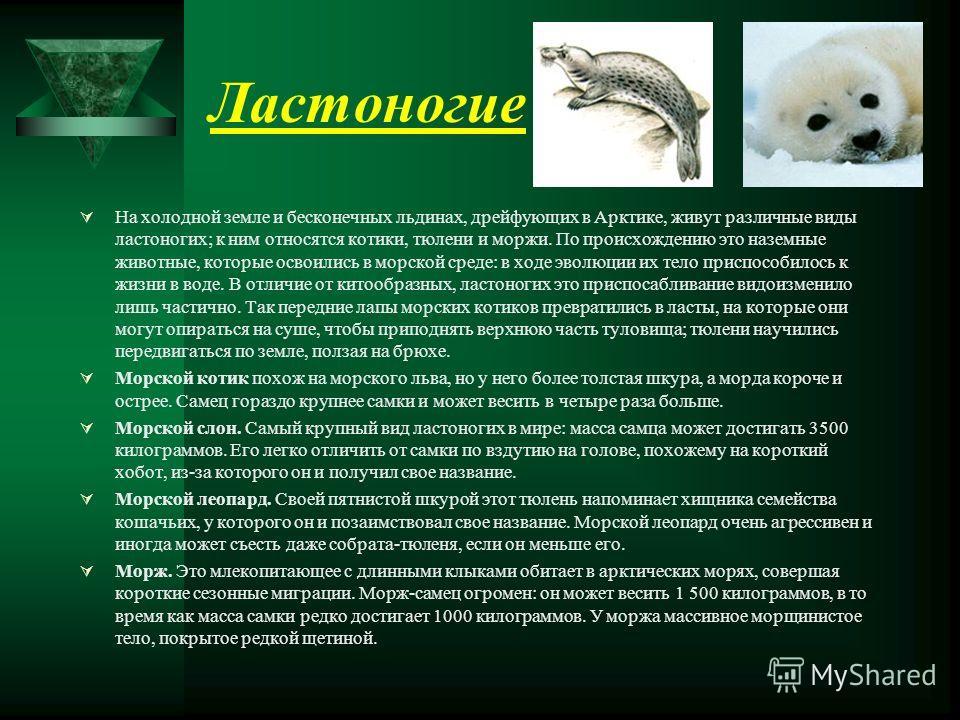 Ластоногие На холодной земле и бесконечных льдинах, дрейфующих в Арктике, живут различные виды ластоногих; к ним относятся котики, тюлени и моржи. По происхождению это наземные животные, которые освоились в морской среде: в ходе эволюции их тело прис