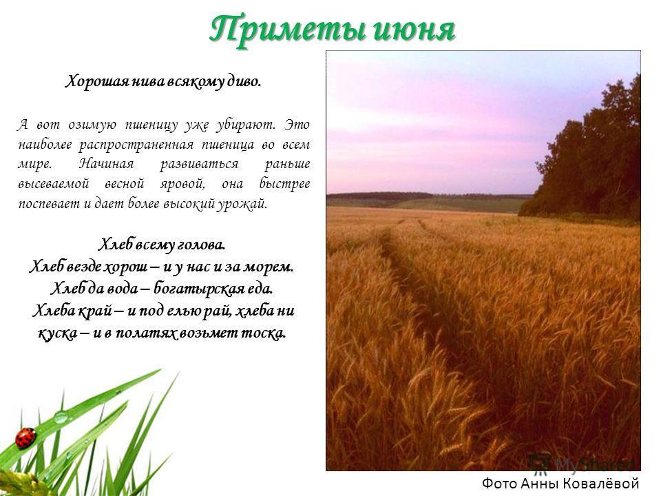 Приметы июня Фото Анны Ковалёвой Хорошая нива всякому диво. А вот озимую пшеницу уже убирают. Это наиболее распространенная пшеница во всем мире. Начиная развиваться раньше высеваемой весной яровой, она быстрее поспевает и дает более высокий урожай.
