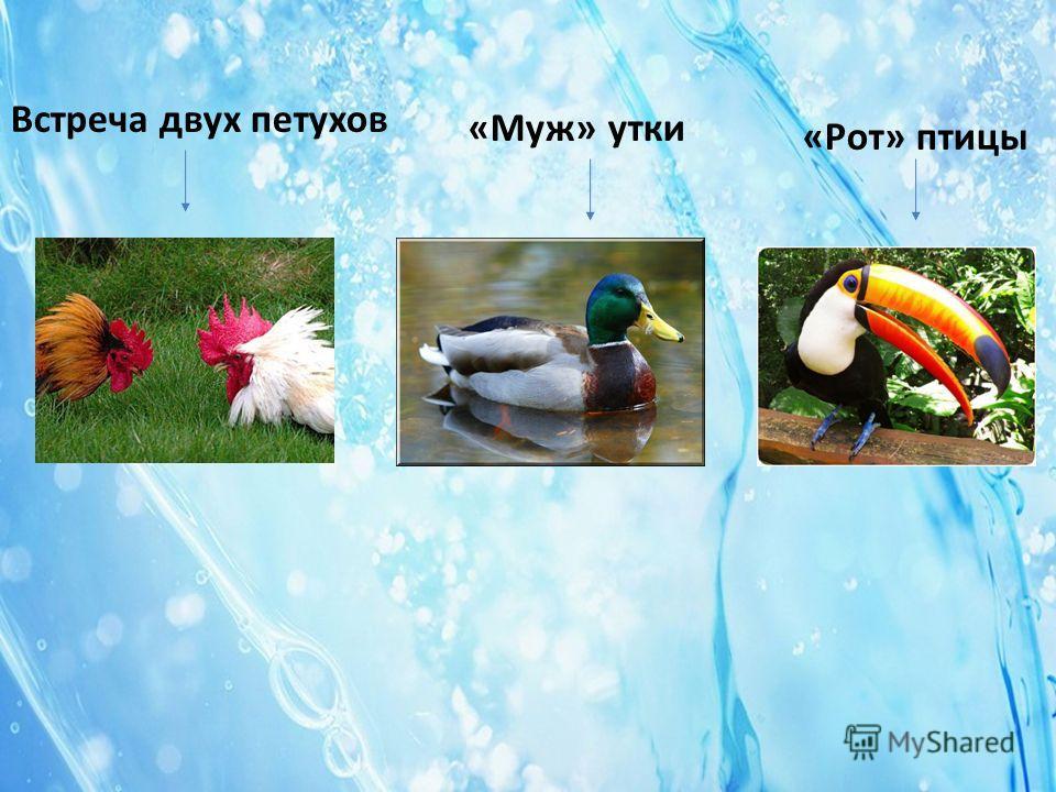 Встреча двух петухов «Муж» утки «Рот» птицы