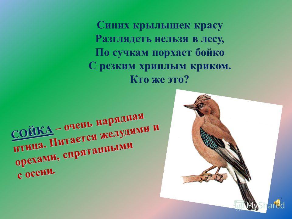 Ну, а кто скажите нам Ловко лазит по стволам: Вверх и вниз и тут и там? Кто мелькает целый день? Это птица… - умеет передвигаться по стволам вниз головой. Осенью запасает корм.