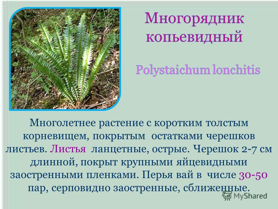 Многолетнее растение с коротким толстым корневищем, покрытым остатками черешков листьев. Листья ланцетные, острые. Черешок 2-7 см длинной, покрыт крупными яйцевидными заостренными пленками. Перья вай в числе 30-50 пар, серповидно заостренные, сближен