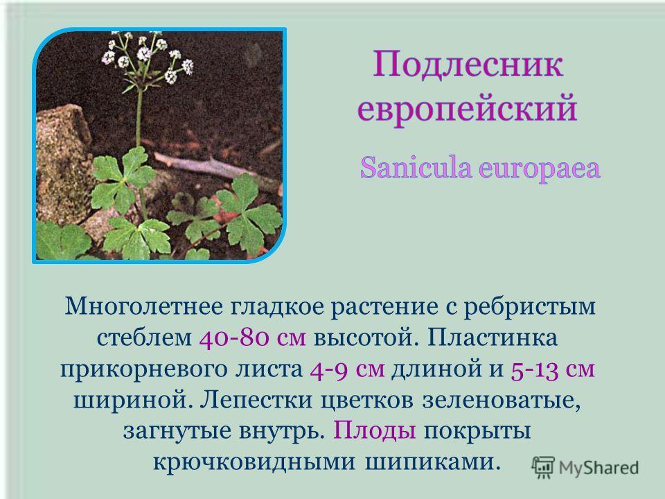 Многолетнее гладкое растение с ребристым стеблем 40-80 см высотой. Пластинка прикорневого листа 4-9 см длиной и 5-13 см шириной. Лепестки цветков зеленоватые, загнутые внутрь. Плоды покрыты крючковидными шипиками.