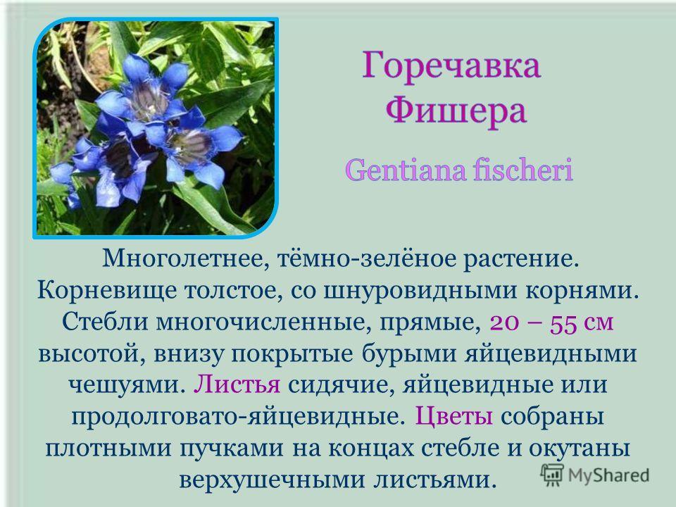 Многолетнее, тёмно-зелёное растение. Корневище толстое, со шнуровидными корнями. Стебли многочисленные, прямые, 20 – 55 см высотой, внизу покрытые бурыми яйцевидными чешуями. Листья сидячие, яйцевидные или продолговато-яйцевидные. Цветы собраны плотн