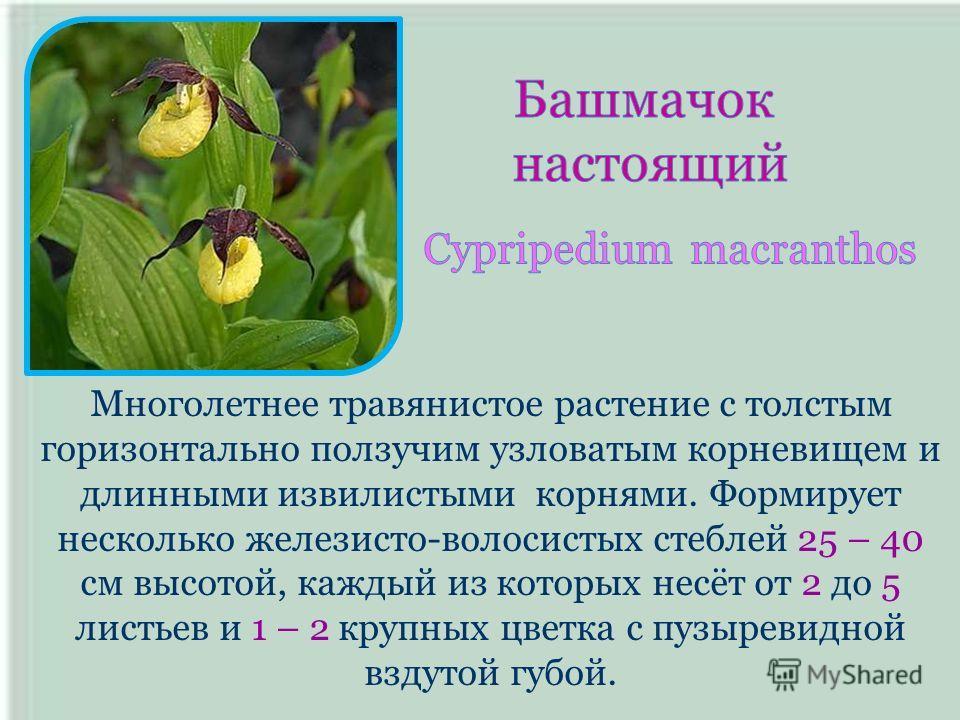 Многолетнее травянистое растение с толстым горизонтально ползучим узловатым корневищем и длинными извилистыми корнями. Формирует несколько железисто-волосистых стеблей 25 – 40 см высотой, каждый из которых несёт от 2 до 5 листьев и 1 – 2 крупных цвет