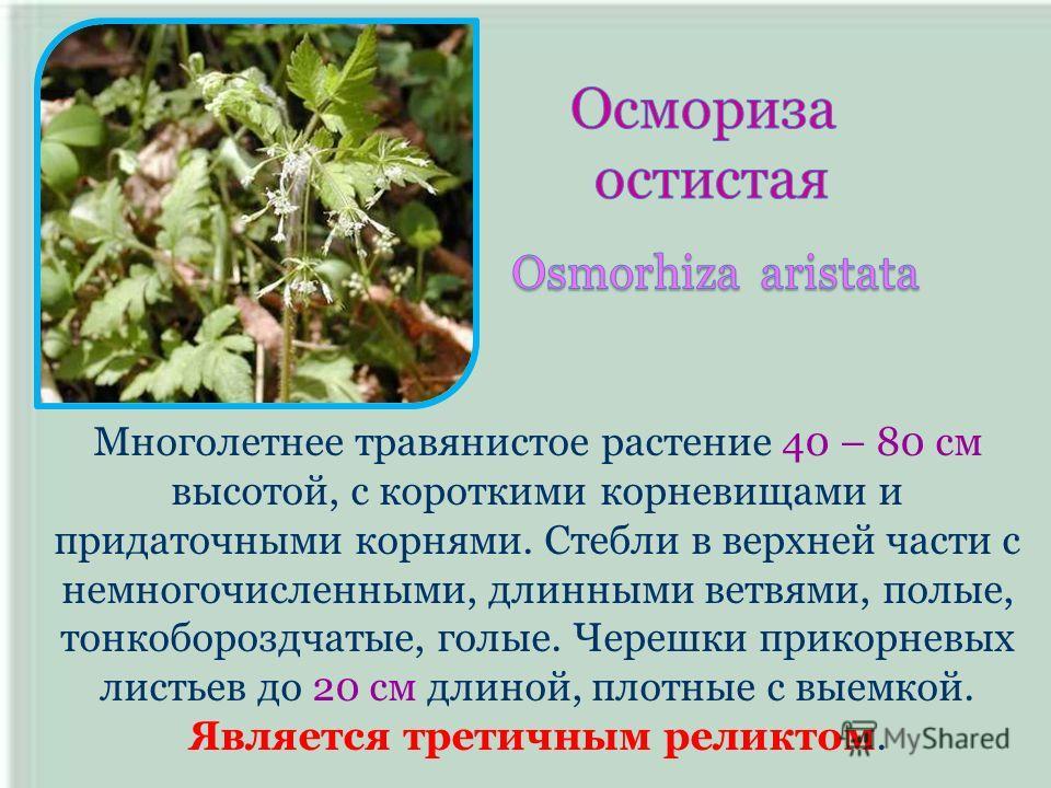 Многолетнее травянистое растение 40 – 80 см высотой, с короткими корневищами и придаточными корнями. Стебли в верхней части с немногочисленными, длинными ветвями, полые, тонкобороздчатые, голые. Черешки прикорневых листьев до 20 см длиной, плотные с