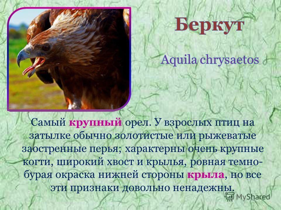 Самый крупный орел. У взрослых птиц на затылке обычно золотистые или рыжеватые заостренные перья; характерны очень крупные когти, широкий хвост и крылья, ровная темно- бурая окраска нижней стороны крыла, но все эти признаки довольно ненадежны.