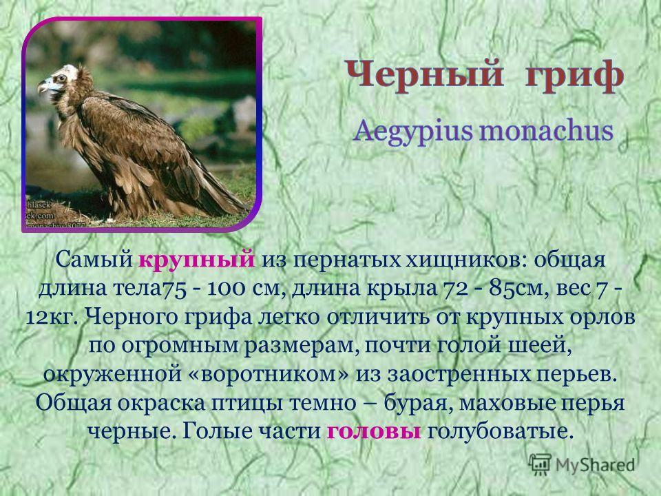 Самый крупный из пернатых хищников: общая длина тела75 - 100 см, длина крыла 72 - 85см, вес 7 - 12кг. Черного грифа легко отличить от крупных орлов по огромным размерам, почти голой шеей, окруженной «воротником» из заостренных перьев. Общая окраска п
