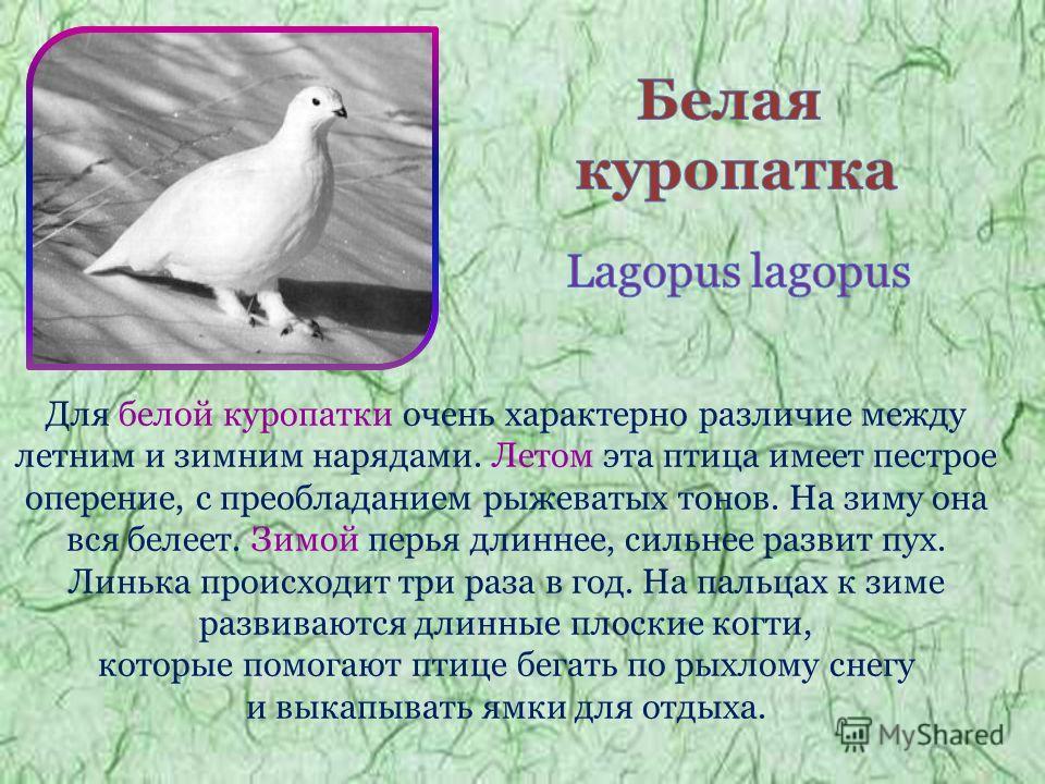 Для белой куропатки очень характерно различие между летним и зимним нарядами. Летом эта птица имеет пестрое оперение, с преобладанием рыжеватых тонов. На зиму она вся белеет. Зимой перья длиннее, сильнее развит пух. Линька происходит три раза в год.