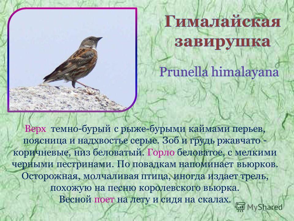 Верх темно-бурый с рыже-бурыми каймами перьев, поясница и надхвостье серые. Зоб и грудь ржавчато - коричневые, низ беловатый. Горло беловатое, с мелкими черными пестринами. По повадкам напоминает вьюрков. Осторожная, молчаливая птица, иногда издает т