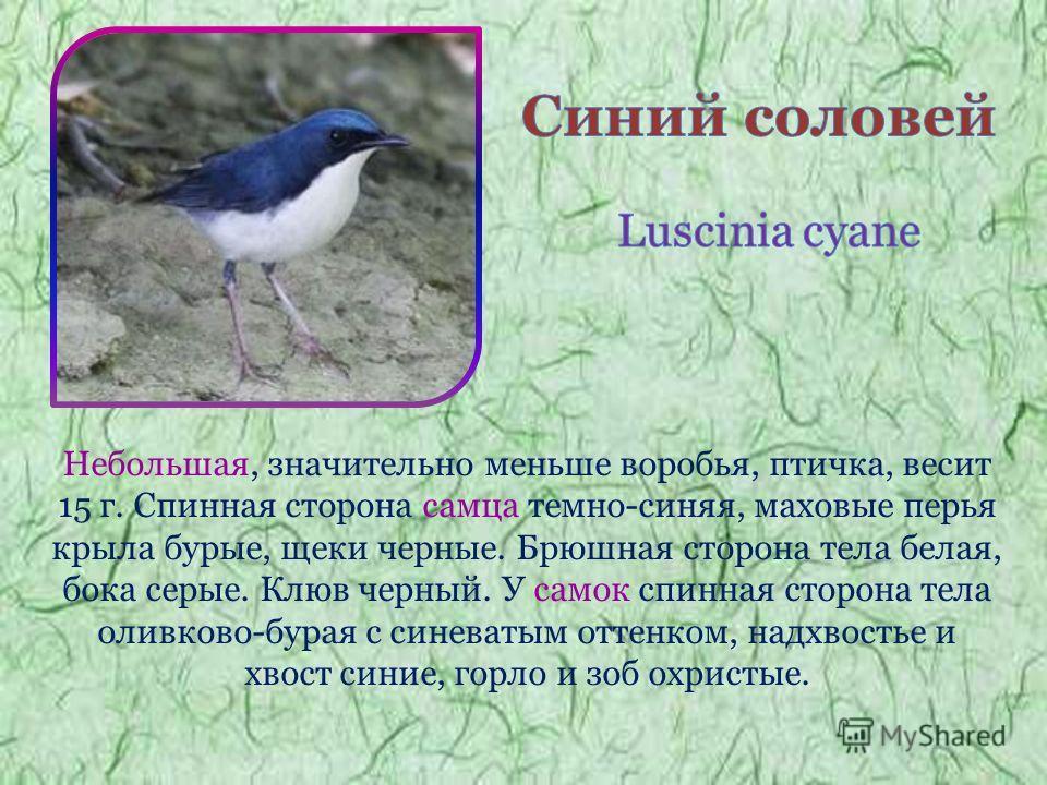 Небольшая, значительно меньше воробья, птичка, весит 15 г. Спинная сторона самца темно-синяя, маховые перья крыла бурые, щеки черные. Брюшная сторона тела белая, бока серые. Клюв черный. У самок спинная сторона тела оливково-бурая с синеватым оттенко