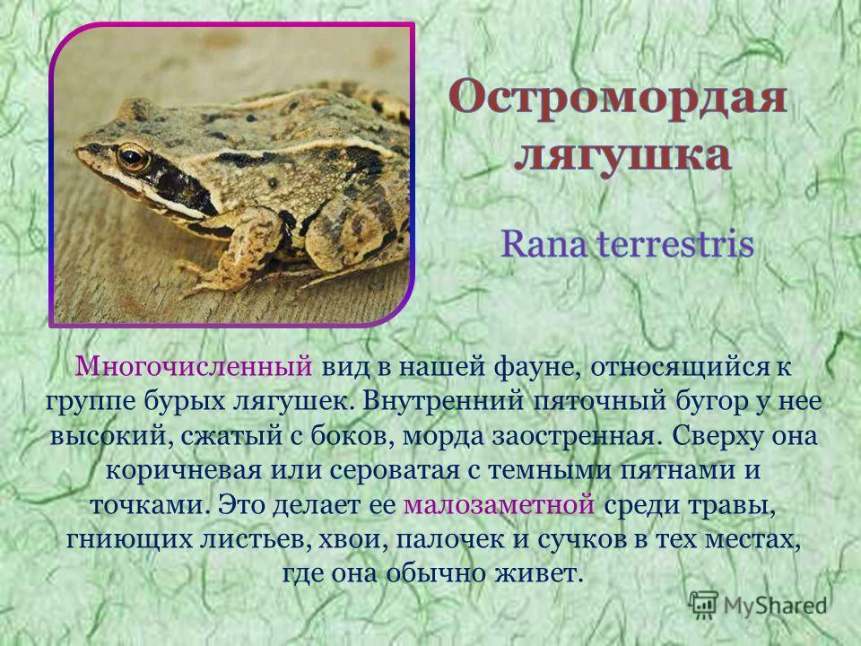 Многочисленный вид в нашей фауне, относящийся к группе бурых лягушек. Внутренний пяточный бугор у нее высокий, сжатый с боков, морда заостренная. Сверху она коричневая или сероватая с темными пятнами и точками. Это делает ее малозаметной среди травы,