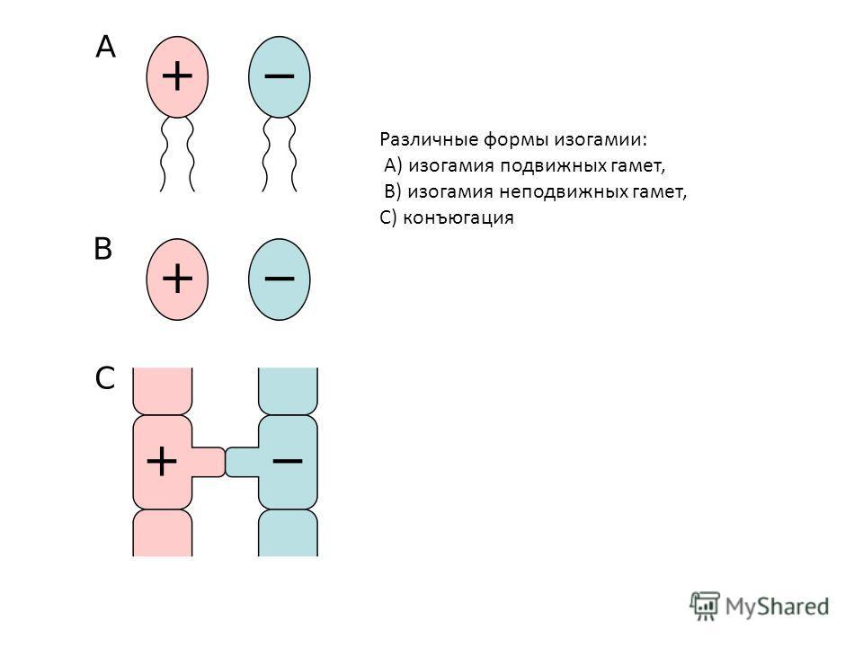 Различные формы изогамии: A) изогамия подвижных гамет, B) изогамия неподвижных гамет, C) конъюгация