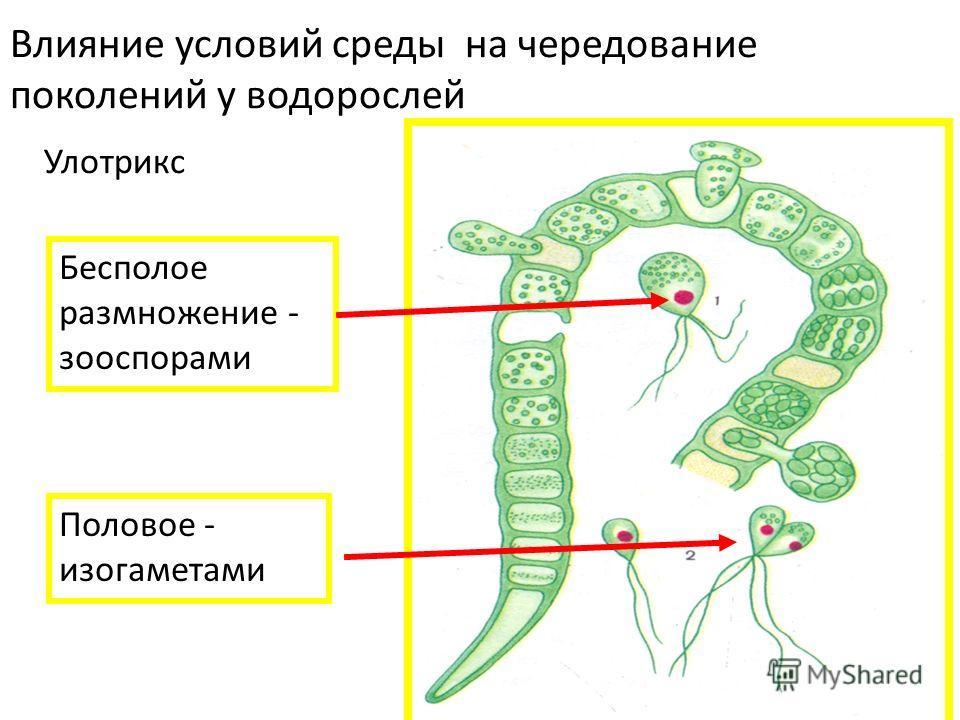 Влияние условий среды на чередование поколений у водорослей Улотрикс Бесполое размножение - зооспорами Половое - изогаметами