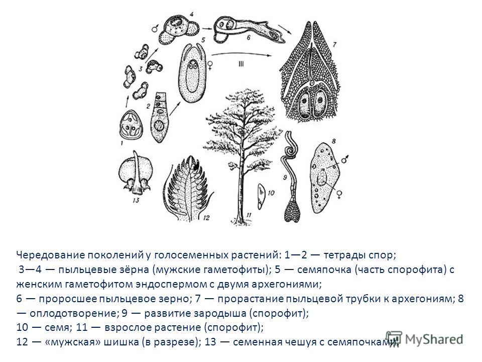 Чередование поколений у голосеменных растений: 12 тетрады спор; 34 пыльцевые зёрна (мужские гаметофиты); 5 семяпочка (часть спорофита) с женским гаметофитом эндоспермом с двумя архегониями; 6 проросшее пыльцевое зерно; 7 прорастание пыльцевой трубки