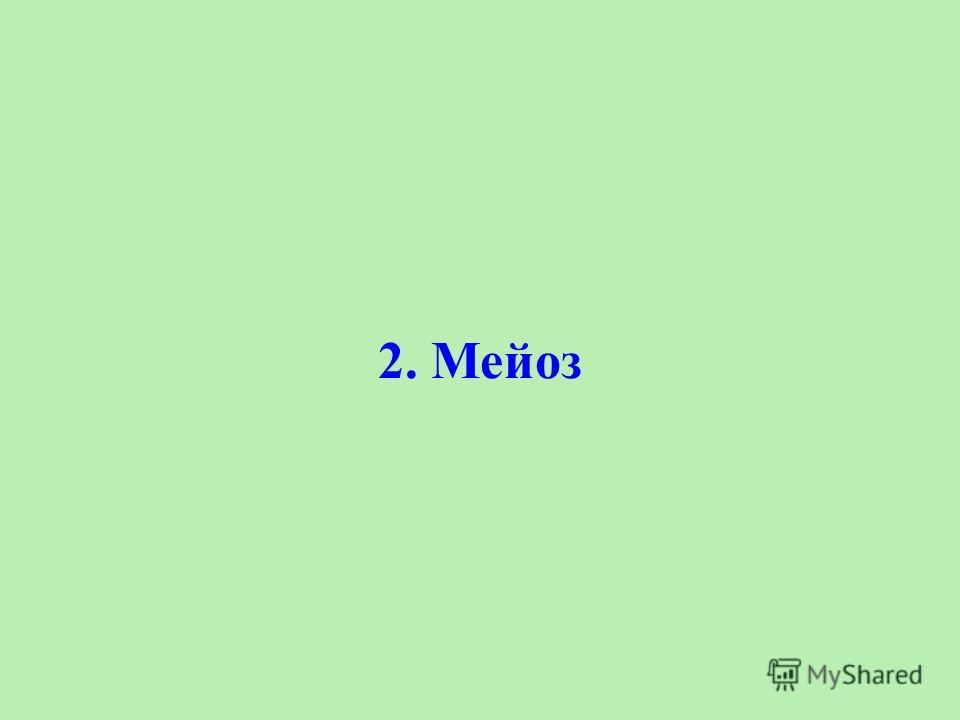 2. Мейоз