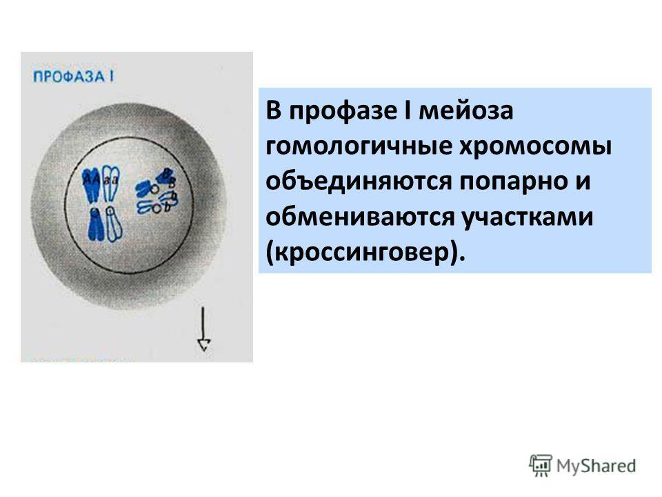В профазе I мейоза гомологичные хромосомы объединяются попарно и обмениваются участками (кроссинговер).