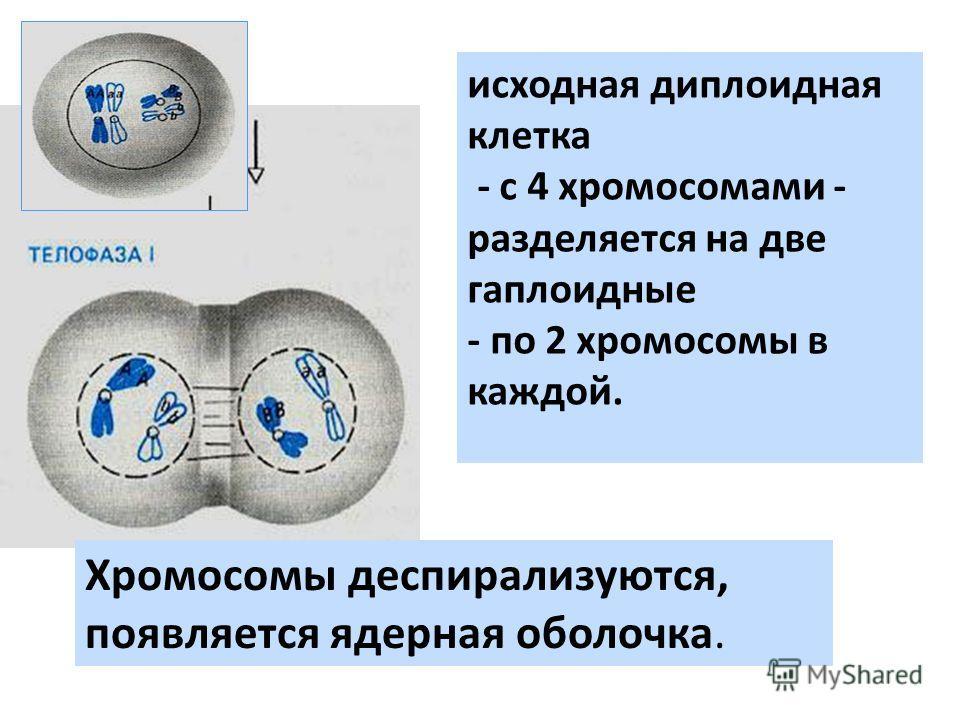 Хромосомы деспирализуются, появляется ядерная оболочка. исходная диплоидная клетка - с 4 хромосомами - разделяется на две гаплоидные - по 2 хромосомы в каждой.