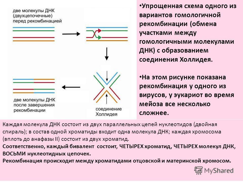 Каждая молекула ДНК состоит из двух параллельных цепей нуклеотидов (двойная спираль); в состав одной хроматиды входит одна молекула ДНК; каждая хромосома (вплоть до анафазы II) состоит из двух хроматид. Соответственно, каждый бивалент состоит, ЧЕТЫРЕ
