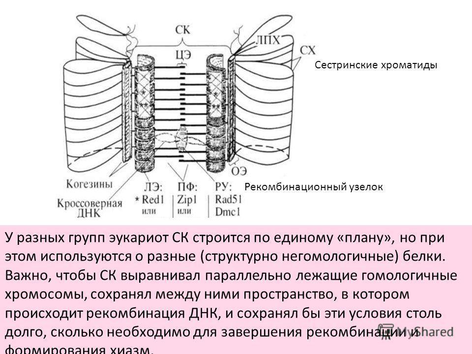 У разных групп эукариот СК строится по единому «плану», но при этом используются о разные (структурно негомологичные) белки. Важно, чтобы СК выравнивал параллельно лежащие гомологичные хромосомы, сохранял между ними пространство, в котором происходит