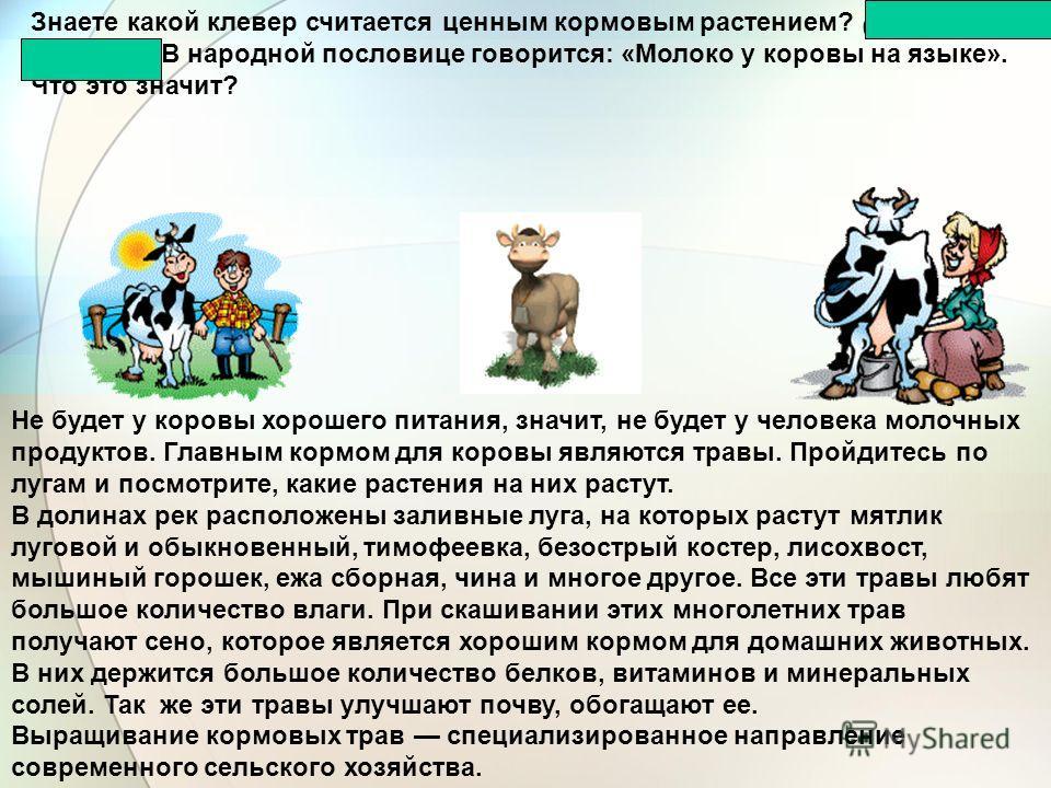 Знаете какой клевер считается ценным кормовым растением? (Клевер луговой.) В народной пословице говорится: «Молоко у коровы на языке». Что это значит? Не будет у коровы хорошего питания, значит, не будет у человека молочных продуктов. Главным кормом